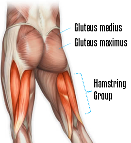 glute and hamstring anatomy
